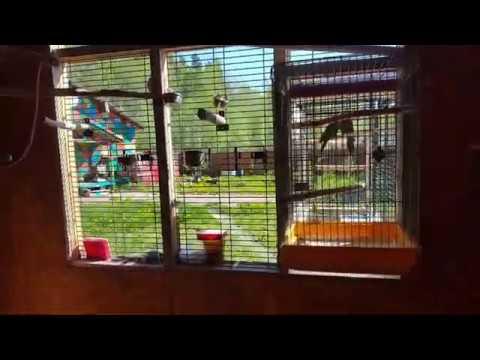 Видео: Вольер из старых клеток для веерных попугаев