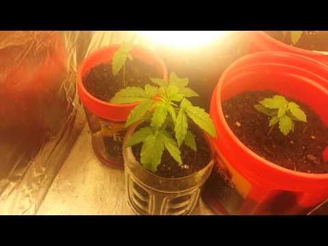 Cheap easy cannabis grow. Walmart supplies. Week 2