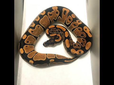 ball python clown project