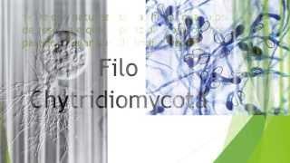 Reino Fungi - Filo Chytridiomycota