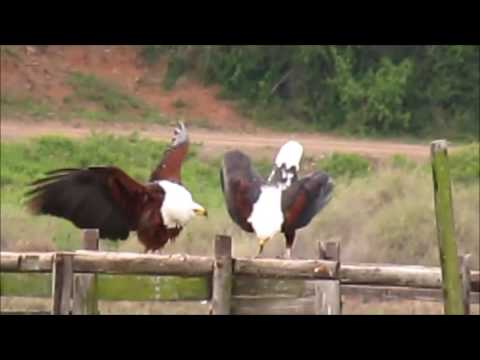 African Fish eagles calling and mating
