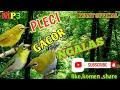 Masteran Pleci Gacor Ngalas Cocok Buat Pancingan Pleci Malas Bunyi Dijamin Ampuh  Mp3 - Mp4 Download