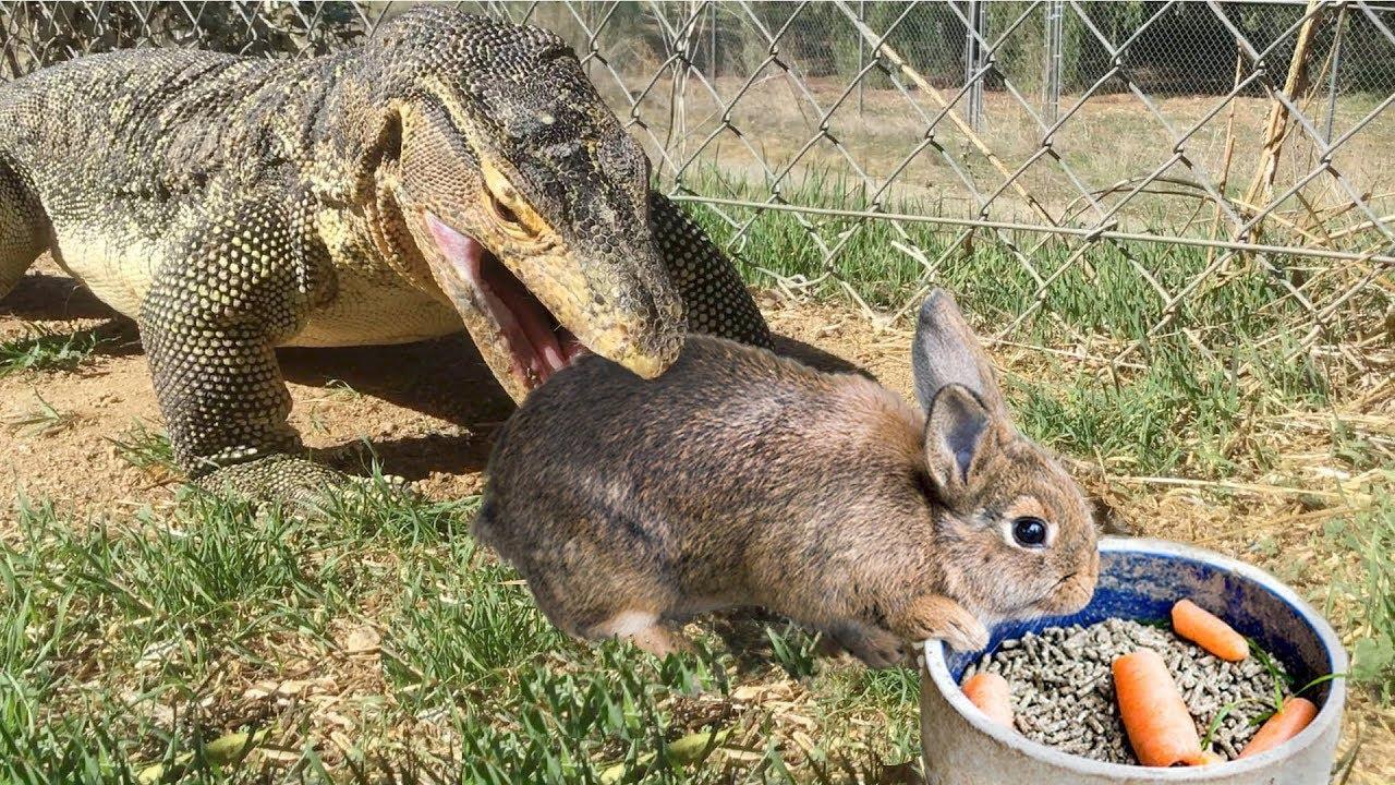 T Max 2018 >> Lizard Finds Rabbit Outside--Eats Rabbit - YouTube