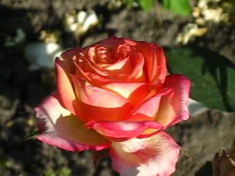 Роза Ди Вельт