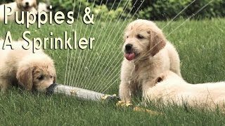 21 Puppies... In A Sprinkler!