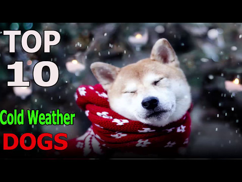 Top 10 cold weather dog breeds | Top 10 animals