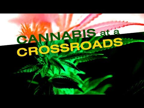 """KQED Newsroom Special: """"Cannabis at a Crossroads"""""""