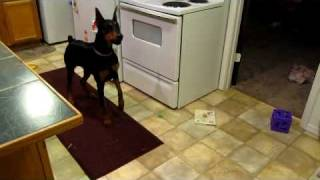 Doberman Protection Work