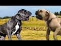 Neapolitan Mastiff vs English Mastiff - Dog Videos [Mr Friend]