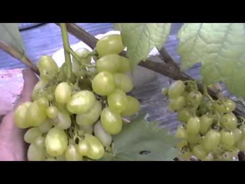 Сорта винограда Всё о винограде
