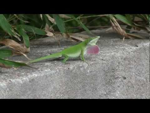 Carolina Anole Lizard Changes Color