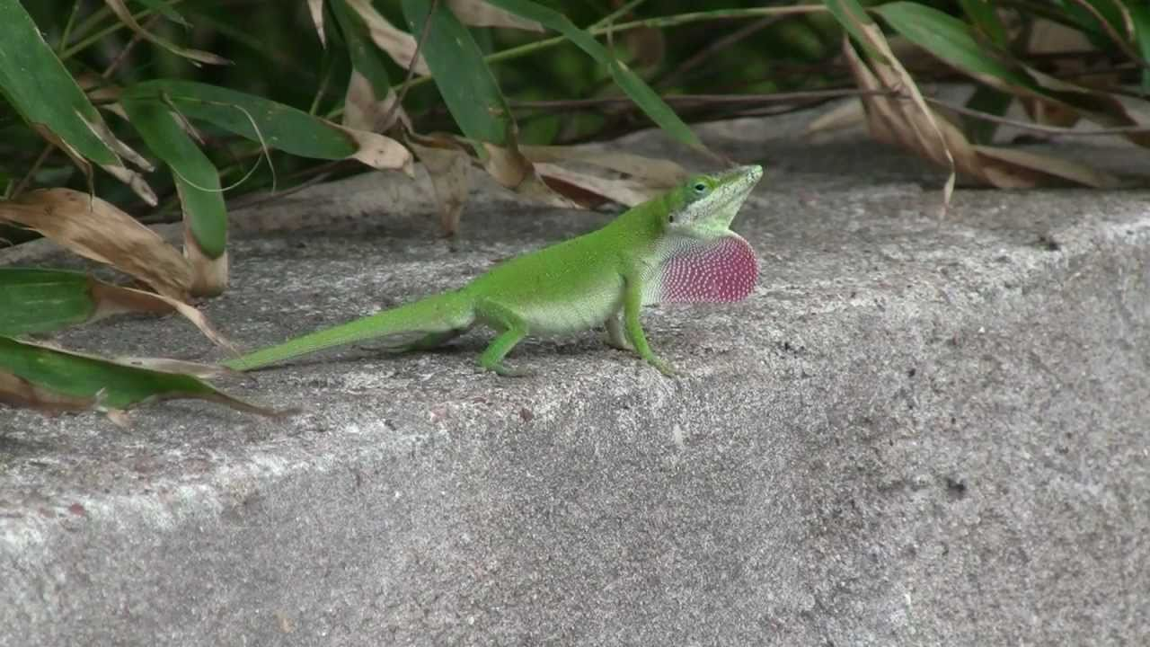 carolina anole lizard changes color youtube