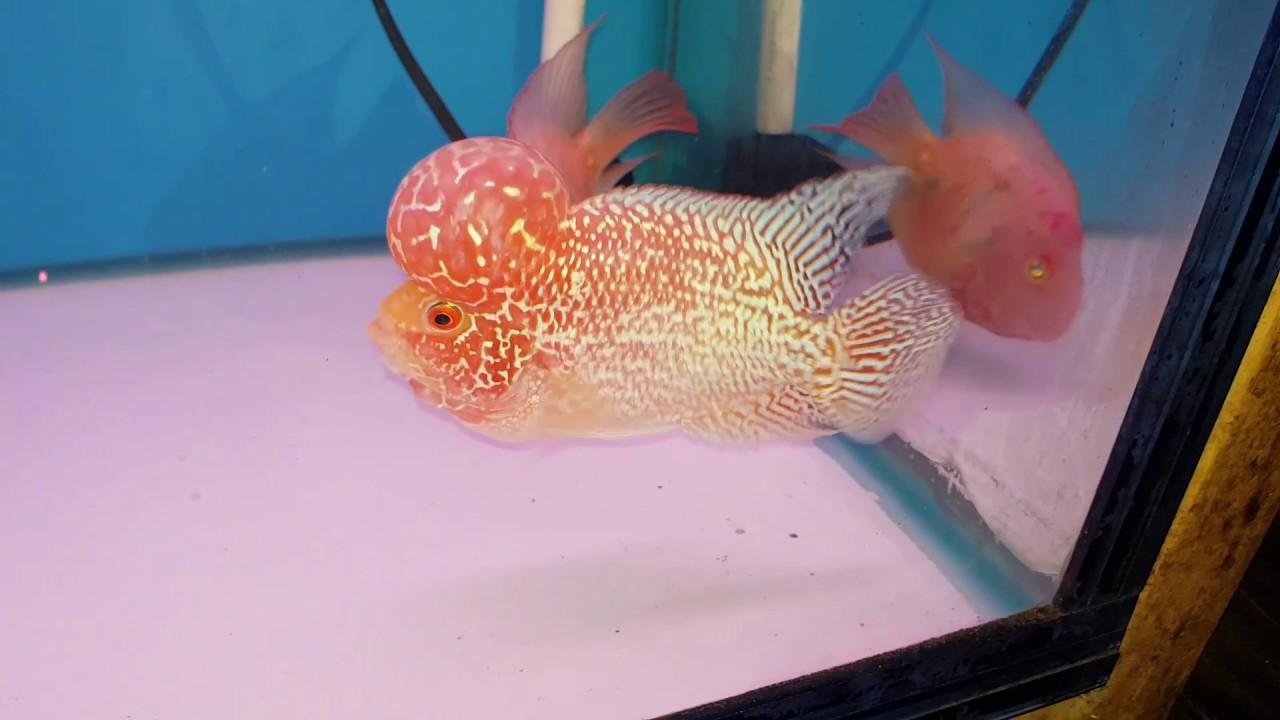 Cá la hán lột đẹp | Golden base flowerhorn | cá cảnh Lucky