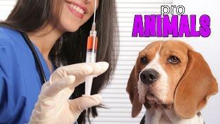 Вакцинация собак #2, прививки [ProAnimals]