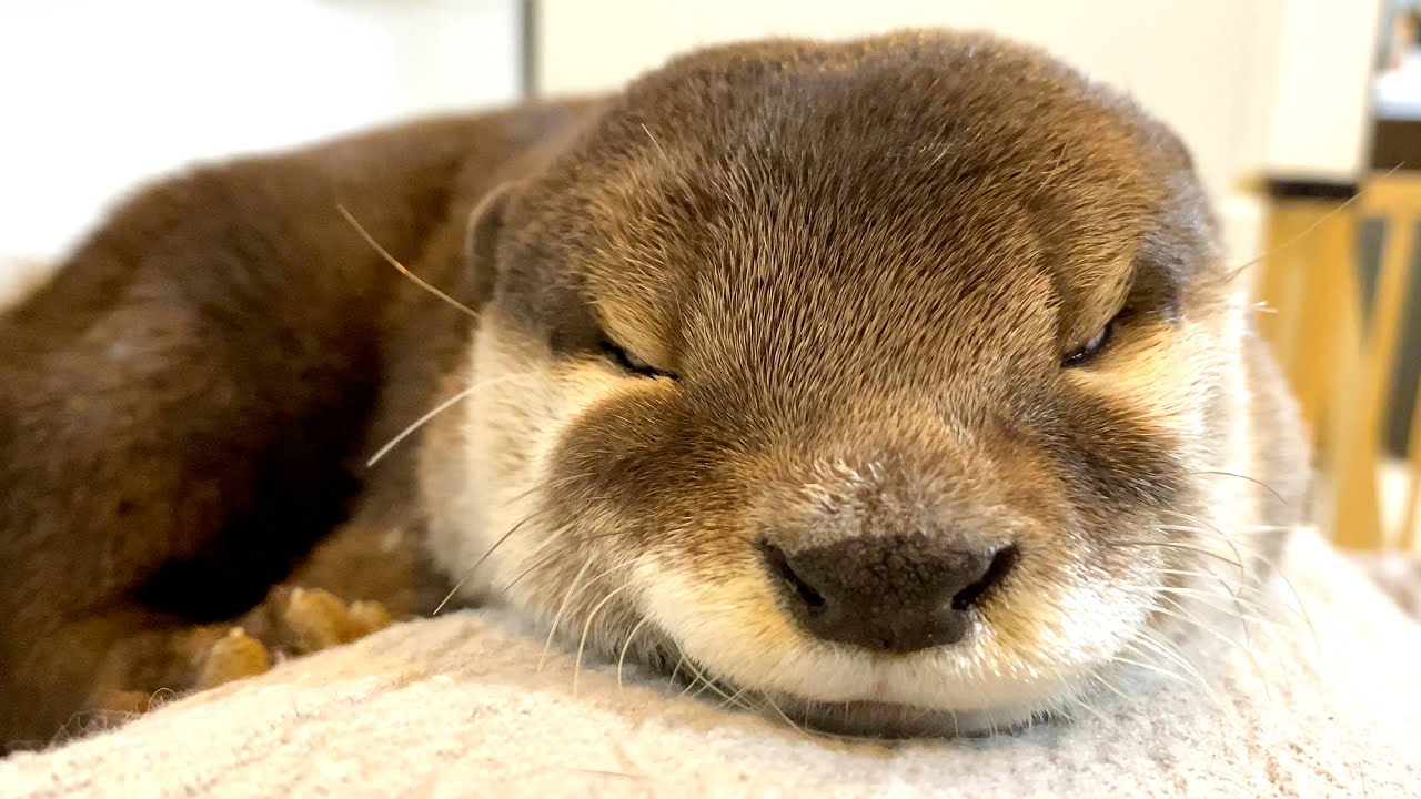 Download Smiling and sleeping otter [Otter life Day 454]