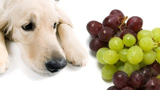 10 Most Dangerous People Foods for Dogs and Cats - Top Ten Stuffs