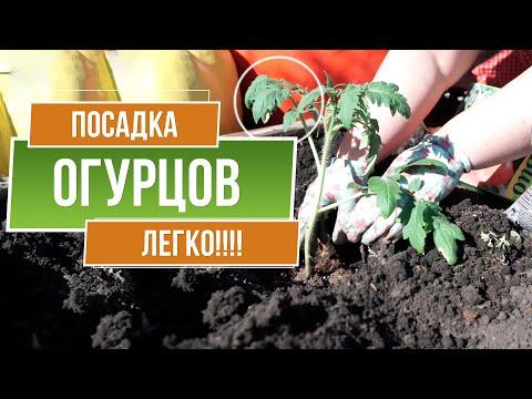 Посадка Огурцов в открытый грунт 🥒 Супер Способ посадки для Лучшего Урожая 🥒 Лучшие Соседи Огурца