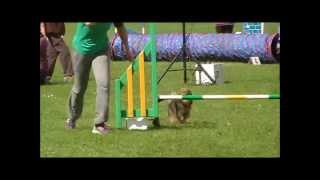 Buzz's Debut In The Champ Classes At Dundee Agility Show - Aug '13