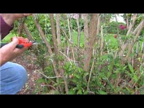 Gardening : How To Prune Butterfly Shrubs - Youtube