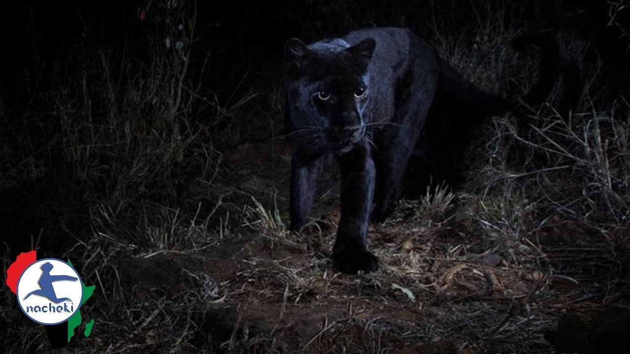 Rare Black Panther Spotted in Kenya but Media only Credit White Photographer