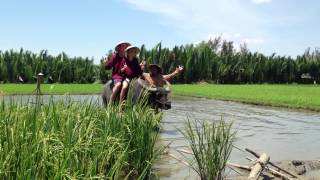 Riding BMW OF VIETNAM - WATER BUFFALO ON THE RICE PADDY FIELD