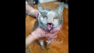 """H.A.P.S. Баку!!! Слепой и Избитый """"ЧЕЛОВЕКОМ"""" несчастный кот Стиви!!!"""