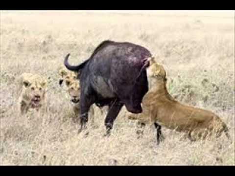 Lion felled forest buffalo - Su tu quat nga trau rung