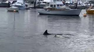 Dog Swims in River With Dolphin Inviting Them to Play - 1034426