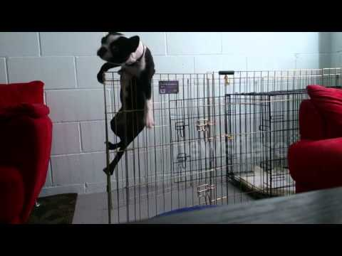 Great Escape, The Boston Terrier Busted