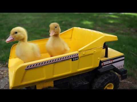 Pekin Ducklings - Play & Grow - SO CUTE! Domestic Ducks