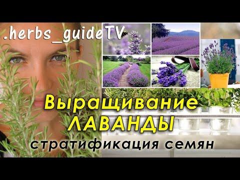 Лаванда выращивание Лаванда из семян, в горшке, дома, в