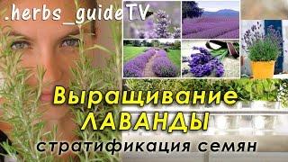 видео Лаванда: выращивание из семян, когда сажать, как посеять