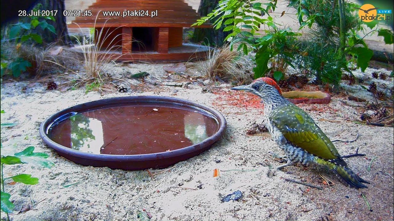 Dzięcioł zielony pije wodę z poidełka przed domkiem dla jeża