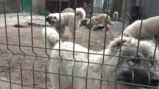молодые собаки питомника Сормовская Заря. Продаю!