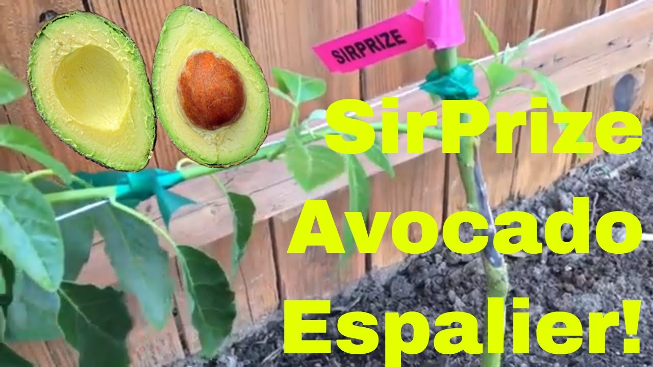 SirPrize Avocado Espalier - Part 1