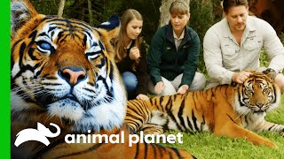 Australia Zoo's Tiger Conservation Programme | Crikey! It's The Irwins