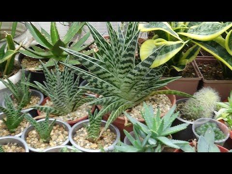 Алоэ пестрое (Aloe variegata) пересадка.