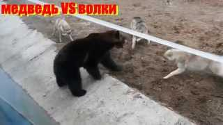 В мире дикой природы.Захватывающие битвы животных!In the world of wildlife.Exciting battles animals!