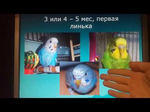 Как определить сколько месяцев попугаю