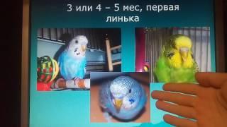 Определение возраста волнистых попугаев