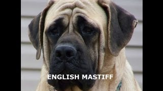English Mastiff - Owning & Training An English Mastiff