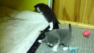 Британские котята. окрас биколор,3 недели
