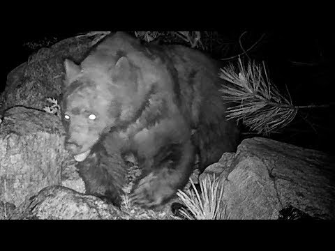 A mouse hides from a bear in the San Bernardino National Forest
