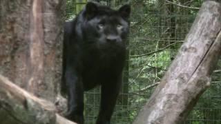 Black Panthers/Leopards/Jaguars