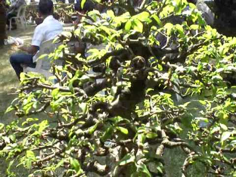 Bonsai บอนไซโมกป่ารากเดียว