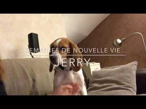 Jerry, beagle retraité de laboratoire, demande des gâtés.J+20 jours - Laboratory dog Rescue, 3 weeks
