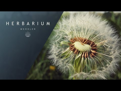Taraxacum officinale - (Common Dandelion)