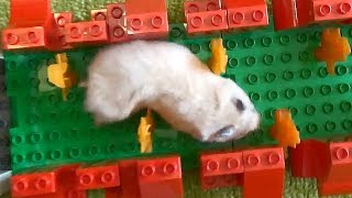 Hamster Lego Obstacle Course thumbnail