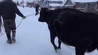 Урааа- она приехала. корова кормилица