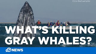 Climate change may be killing whales in California